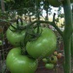 HORTOMALLAS® nel tutoraggio di ortaggi. Istallazione per pomodori.