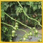 Bir sera içerisinde HORTOMALLAS domates desteği kullanımı
