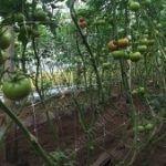 Il sostegno per pomodori HORTOMALLAS risulta la forma migliore di ridurre la trasmissione meccanica di agenti patogeni.