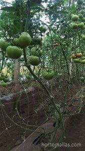 HORTOMALLAS Domates Filesi patojenleri ve bitki stresini azaltır.