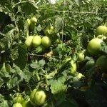 (Another important)相比传统的农业酒椰,HORTOMALLAS提供的作物网的优势是,利用HORTOMALLAS作物网能够增加番茄产量(但它还可用于其他蔬菜,如黄瓜,胡椒,甜瓜,豆类或豌豆)的另一个重要因素是降低植物的机械应力。在支撑期间(或在修剪时)通过减少酒椰绳引起的典型磨损,这不仅降低了病原菌蔓延的风险,而且还减少了对作物的机械应力。