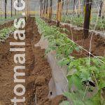 ميزة زراعة الطماطم في صفوف مزدوجة هي ان النباتات تحصل علي الدعم التي تحتاجة من كلا الجانبين.