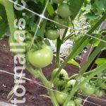 Domates ekininde çift sıralı destek filesi kullanımı tavsiye edilir, böylece bitkinin dalları daha iyi desteklenmiş olur.