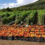 Com HORTOMALLAS, você produz tomates orgânicos, pois reduz a dependência de agroquímicos