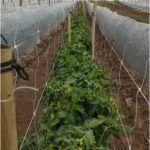 Com HORTOMALLAS como malha treliça, pode tutorar quaisquer hortaliças que necessitem de suporte vertical.