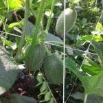 A resistência e a durabilidade da malha HORTOMALLAS permite tutorar até melões e melancias.
