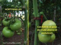 fruto-y-pedunculo-con-HORTOMALLAS-y-rafia-300x246