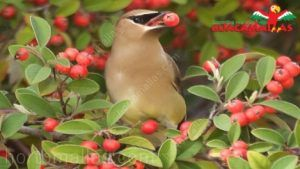 Bird eating red cranberry on unprotected berries production