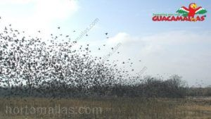 Migrational flock of birds flying over unprotected field