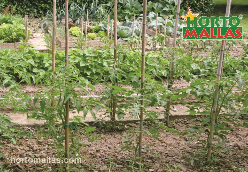 Why Staking Tomatoes Is The Best  Method for Backyard Orchards.