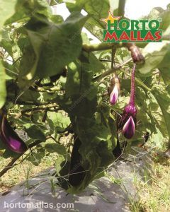 training eggplants