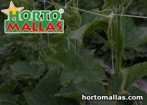 Horizontal trellis for cucumbers