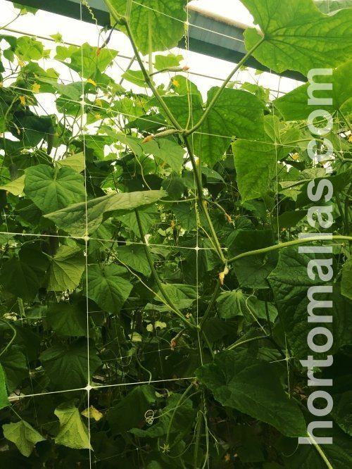 Cucumber trellis netting will increase crop yields as it allows better phytosanitary conditions.