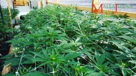 Produção vegetativa de alta densidade com suporte/apoio de treliça