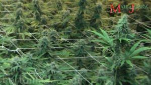 Heavy medicinal yields production with Mallajuana horizontal support