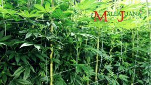 Indoor medicinal production with Mallajuana support