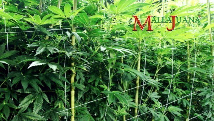 SCROG PLASTIC NETTING METHODS MAKE YOUR PLANTS GROW LEAFIER AND STRONGER