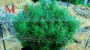 Medicinal bush, supported with MALLAJUANA