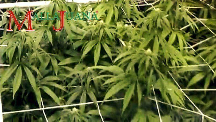 Flores medicinais apoiadas horizontalmente com malha/rede de plástico.