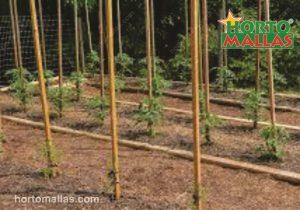 staking tomatoes with bamboo poles.