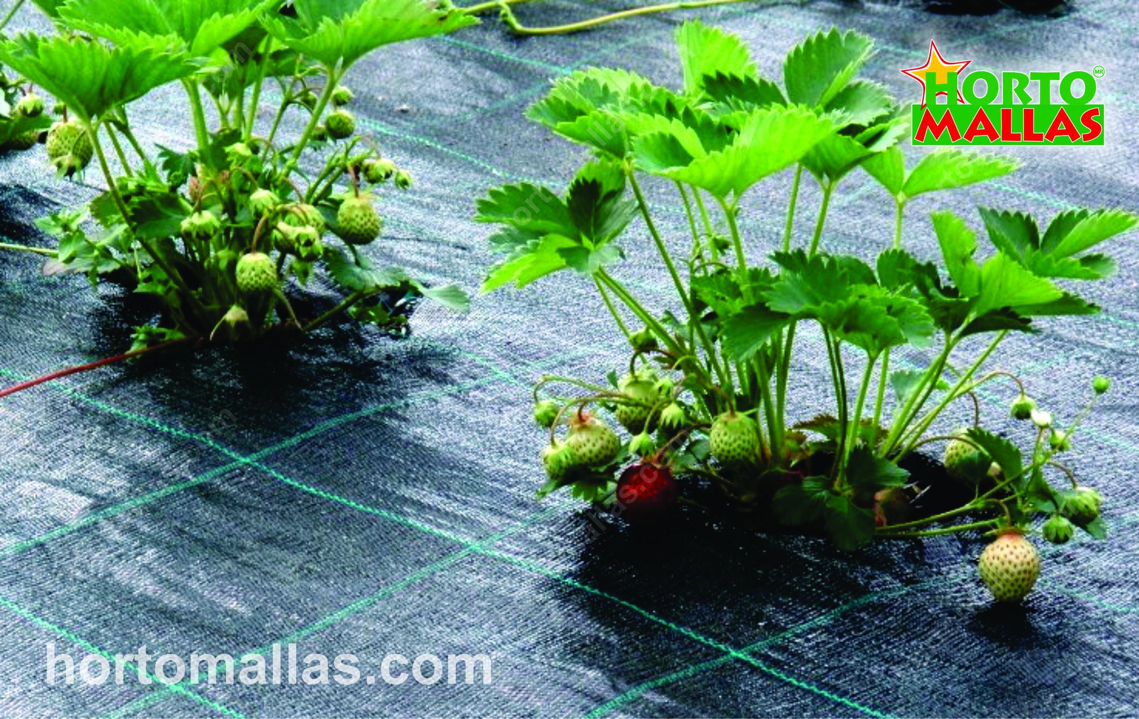 Как сажать клубнику в грунт