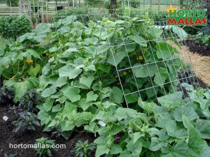 supporting cucumber plants