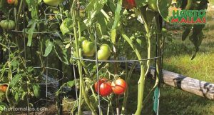 tomato crops used cages for support