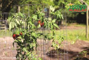 Tomato cages used for provide support