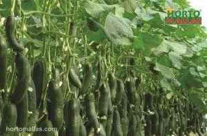 Cucumber grown with a trellis