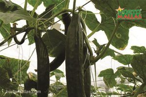 cucumber support in cropfield using support net and trendils