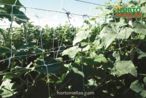 support to cucumber using espalier net and stakes