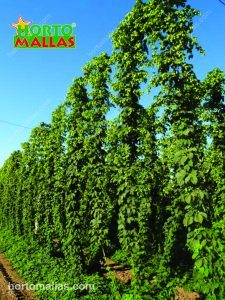 Training hops on a trellis