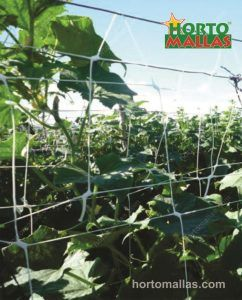 Vertical trellis on cucurbits