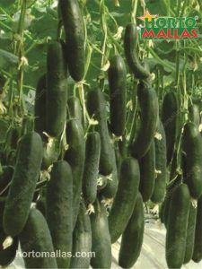 cucumber crop using support method
