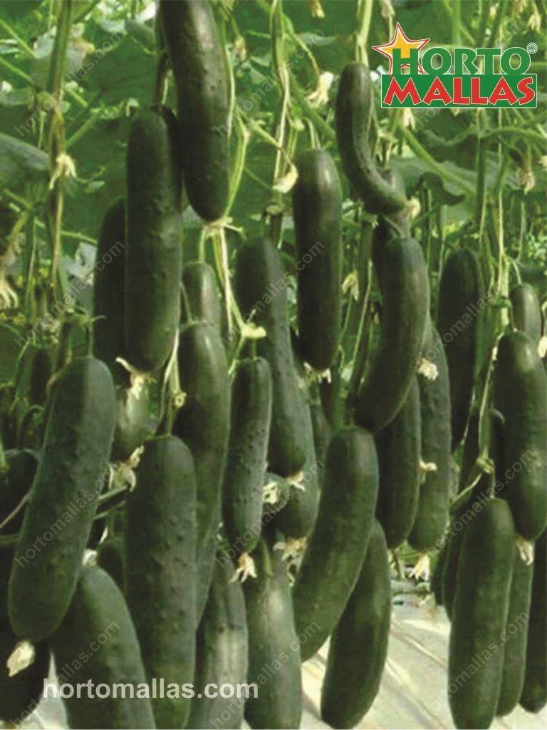 Cucumber Staking - HORTOMALLAS™, Supporting your crops®