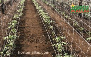 cropfield using espalier net for plant support