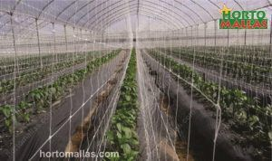 tomato crops with support net in greenhouse