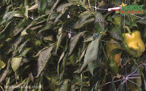 Cultivo de pimento amarelo sustentado com malha/rede tutora e protegido com malha/rede de sombra.