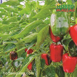 Cultivo de pimento vermelho e verde, com tutoramento e sob sombra.
