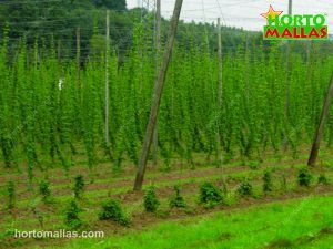 trellising hops vertically using poles and cables