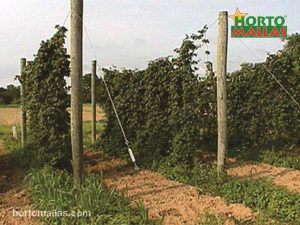 a set of treated wood old telephone poles used to trellis hops
