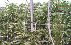 hortomallas net used for crops support