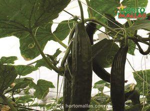 cucumber trendils in cropfield