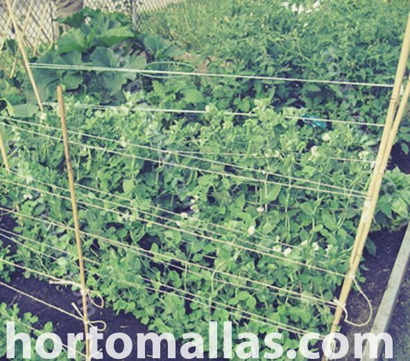 Pea Netting as Support for Growing Peas