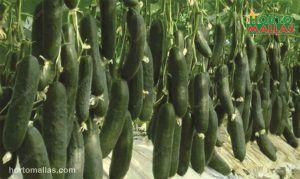 cucumbers on grow net