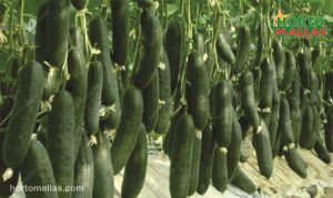 espalier net providing support to cucumber crops
