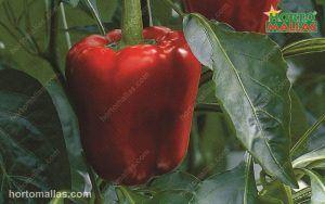 pepper in cropfield