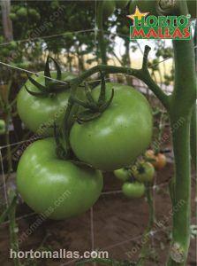 Horticultural espalier