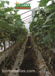 cucumber crops using high wire