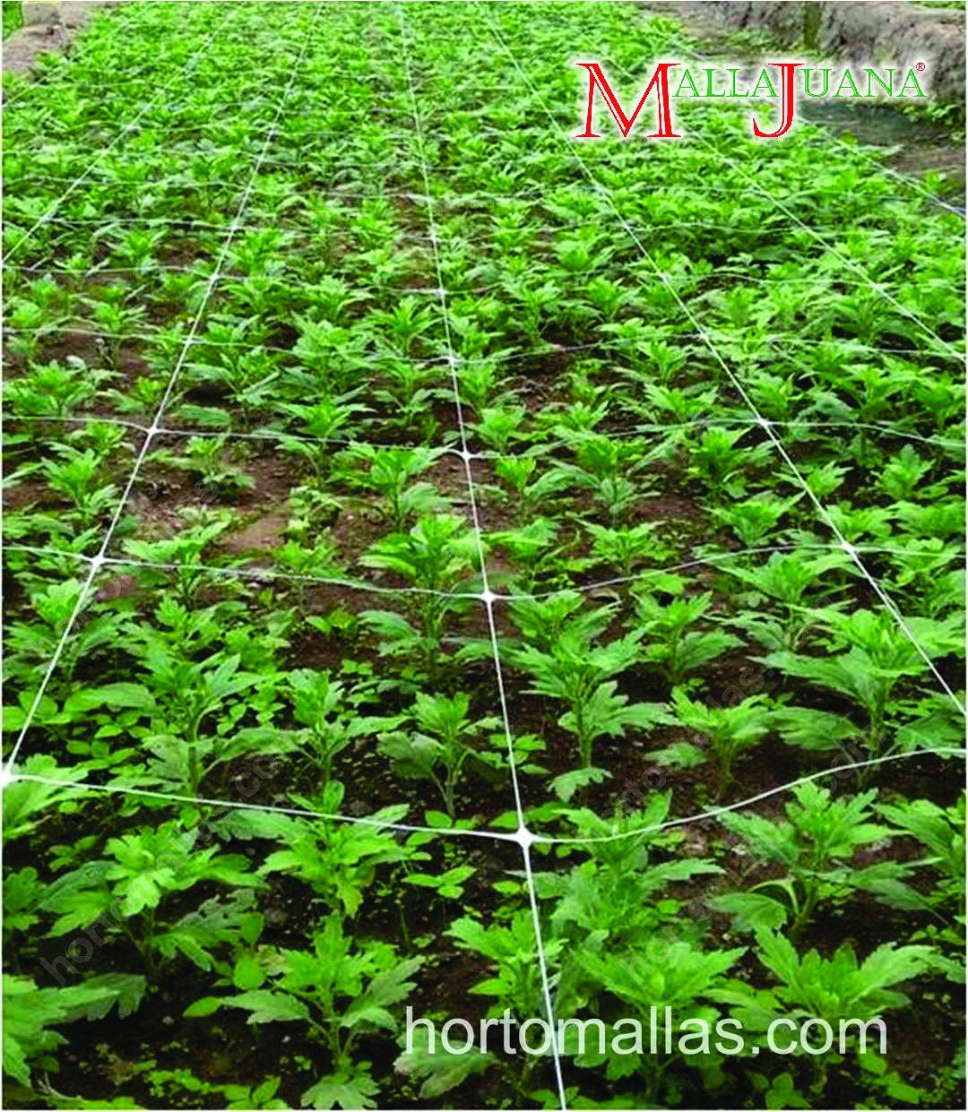 O método SCROG) (tela verde) utiliza uma malha/rede de plástico, chamada de MALLAJUANA® pela HORTOMALLAS®, para apoiar as plantas.